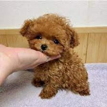 TOY POODLE PUPPIES FOR YOU