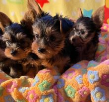 ADORABLE AND HEALTHY MALTIPOO PUPPIES READY FOR GOOD HOMES