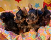 HOME-RAISED GORGEOUS MINIATURE MALTIPOO PUPPIES AVAILABLE FOR LOVING HOMES