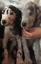male and female Great Done puppies contact us at kb4746965@gmail.com