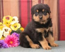 POTTY TRAINED C.K.C ROTTWEILER PUPPIES AVAILABLE