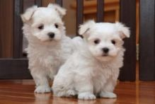 TWO HEALTHY MALTESE PUPPIES READY FOR ADOPTION