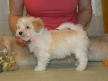 We have two Havanese Puppies