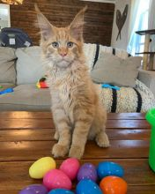 Well Socialized Mainecoons Kittens Available