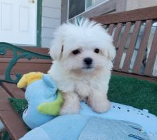 Adorable Maltese Puppies Ready to re-home