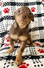 Chihuahua puppies, male and female for adoption
