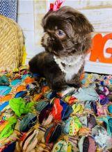 CKC Registered Shih Tzu Puppies For Adoption