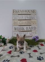 French Bulldog puppies available in good health condition for new homes