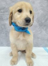 Golden Retriever puppies available in good health condition for new homes