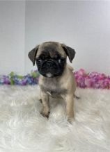 Pug puppies for good re homing to interested homes.
