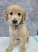 Stunning Male and Female Golden Retriever Puppies available for adoption