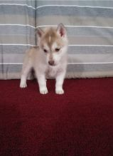 Adorable Siberian Husky Puppies Ready to re-home Image eClassifieds4U