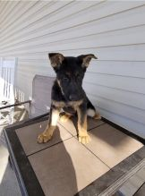 male and female German Shepherd puppies for adoption Image eClassifieds4U
