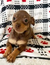 Chihuahua puppies ready for adoption into good homes