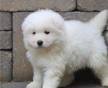 Amazing Samoyed puppies !