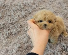 Awesome T-Cup Maltipoo Puppies Available