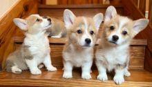 Charming Pembroke Welsh Corgi puppies