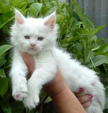 Maine coon kittens available for adoption. Updated on vaccinations and dewormed.