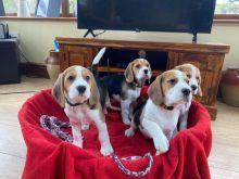Tri Coloured Beagles Puppies
