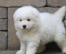 Two Friendly Samoyed Puppies