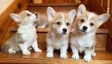 Wonderful male and female Pembroke welsh corgi puppies