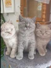 British short hair kittens for new home