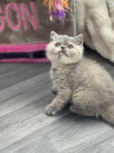 Male and female British short hair kittens
