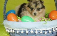 Adorable pomsky puppies for all Image eClassifieds4u 2