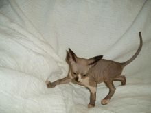 Male and Female Canadian Sphynx kittens for adoption