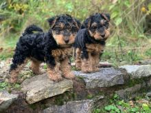 male and female welsh terrier puppies for sale contact us at jl245289@gmail.com