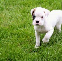 adorable cuties boxer puppies Image eClassifieds4u 3