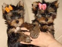 male and female yorkie puppies contact us at oj557391@gmail.com
