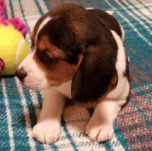Adorable lovely Male and Female Beagle Puppies for adoption Image eClassifieds4u 1