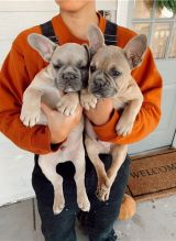 Cute lovely Male and Female French Bulldog Puppies for adoption Image eClassifieds4U