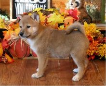 Excellence lovely Male and Female Shiba Inu Puppies for adoption