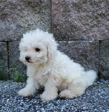 Fantastic Bichon frise Puppies Male and Female for adoption