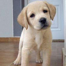 Gorgeous Labrador Retriever Puppies Male and Female For Adoption