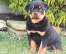 Pure Rottweiler Ready for New Home