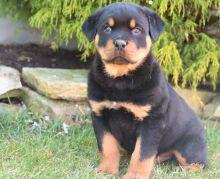 Marvelous Rottweiler for adoption Image eClassifieds4U