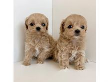Well Trained Cavapoo Puppies For Rehoming