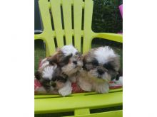 Shih tzu puppies seeking new adopters ASAP they are up to date on puppy vaccinations and vet checked