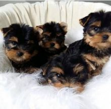 Yorkie puppies are ready for re homing Send inquiries to>>> kaileynarinder31@gmail.com