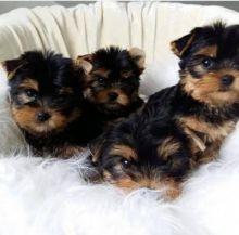 Yorkshire Terrier puppies seeking Urgent homes