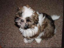 Teacup (Shih Tzu) Puppies for Adoption. Contact.lindsayurbin@gmail.com