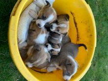 male and female Welsh Collie puppies contact us at kb4746965@gmail.com Image eClassifieds4U