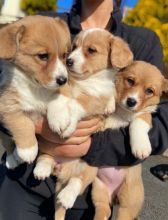 male and female Welsh Corgi Cardigan puppies contact us at jl245289@gmail.com