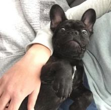 Breathtaking Ckc French Bulldog Puppies Available
