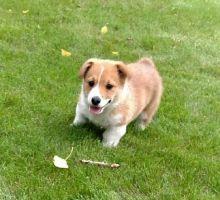 Adorable Ckc Corgi Puppies Available [kurtmorgan51691@gmail.com