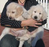 Adorable Ckc Golden retriever Puppies Available