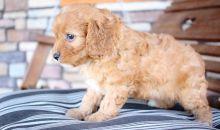 Amazing ckc Cavapoo Puppies Available